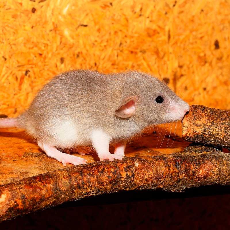 empresas de control de plagas de roedores desratizacion